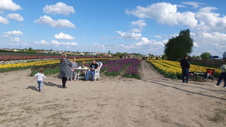 тюльпанове поле в Івано-Франківську